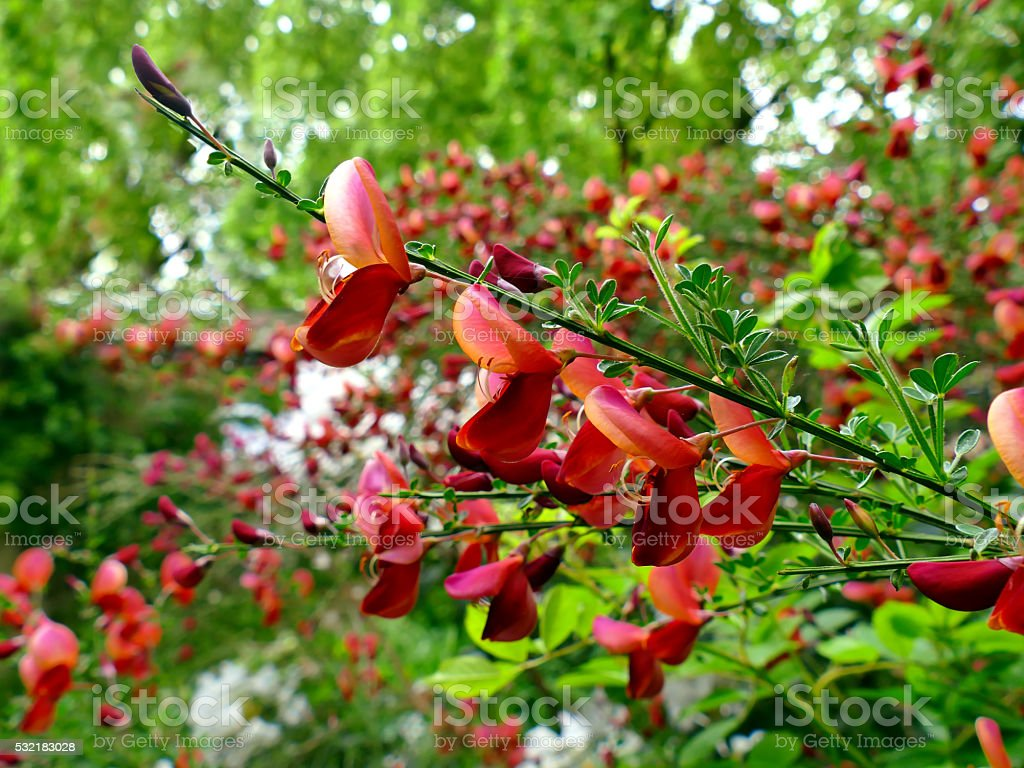 Scotch broom flower close up with defocused background stock photo