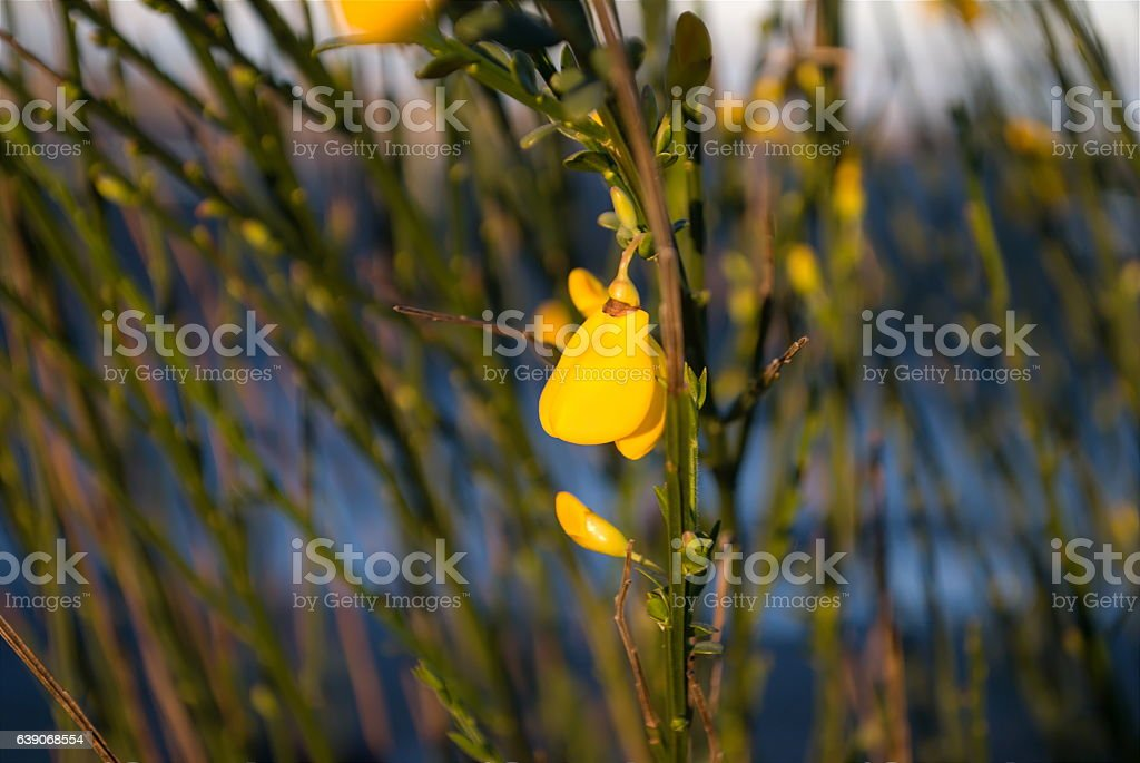 Scotch Broom (Cytisus scoparius) Flower, Soft Focus stock photo