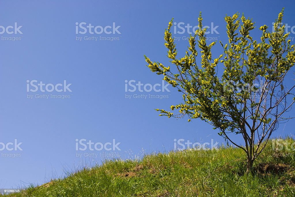 Scotch Broom stock photo