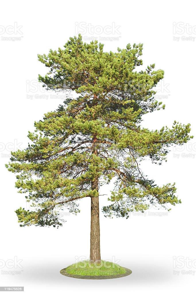 Scotch fir on white royalty-free stock photo