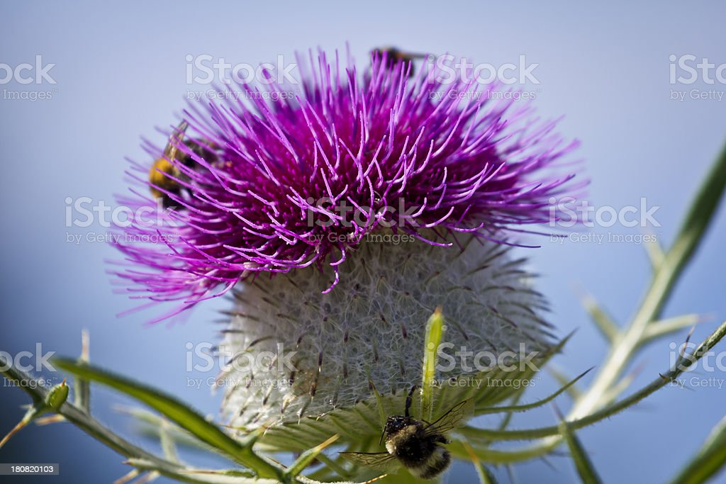 Scotch thistle flowerhead royalty-free stock photo