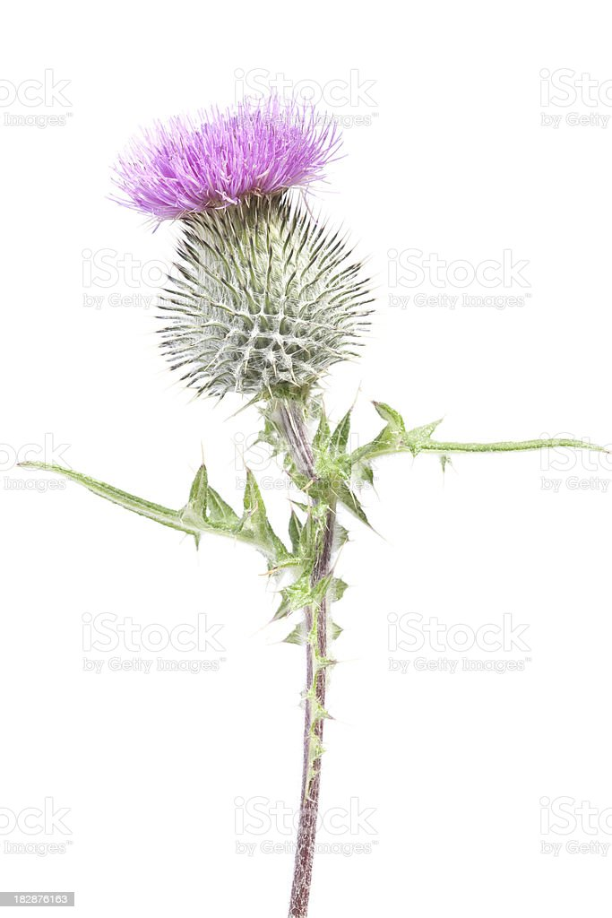 Scotch Thistle isolated on white royalty-free stock photo