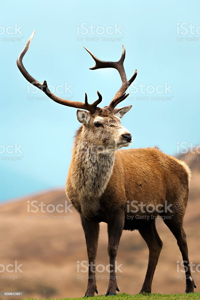 Scotish Red Deer Stag stock photo