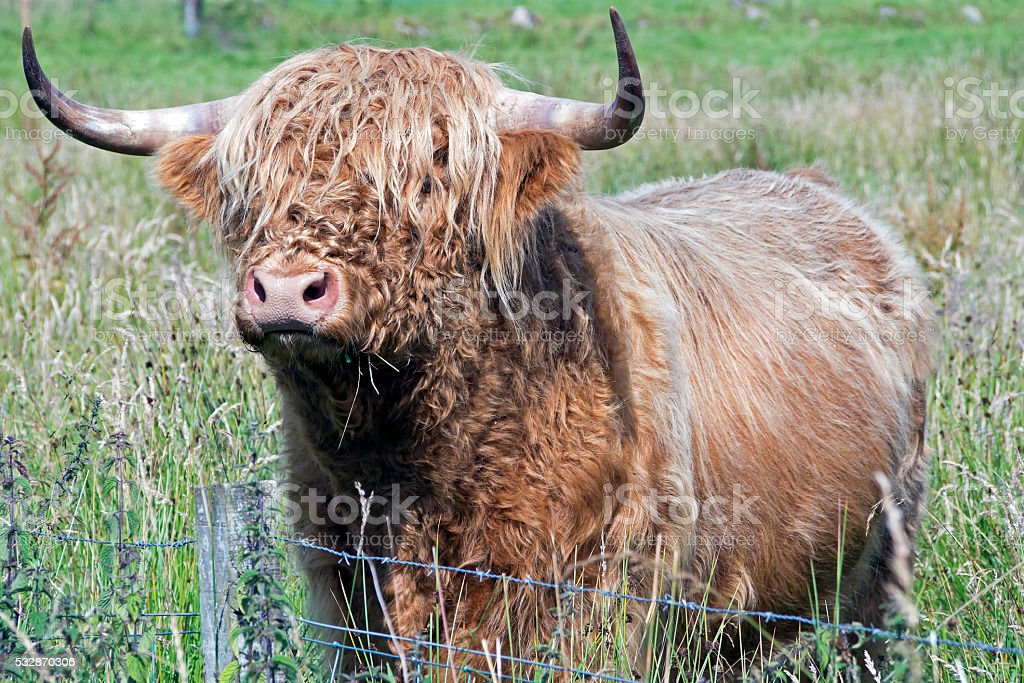 scotland cow in highlands stock photo