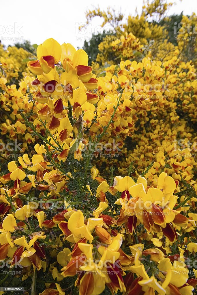 Scots (Scotch) Broom in yellow bloom stock photo