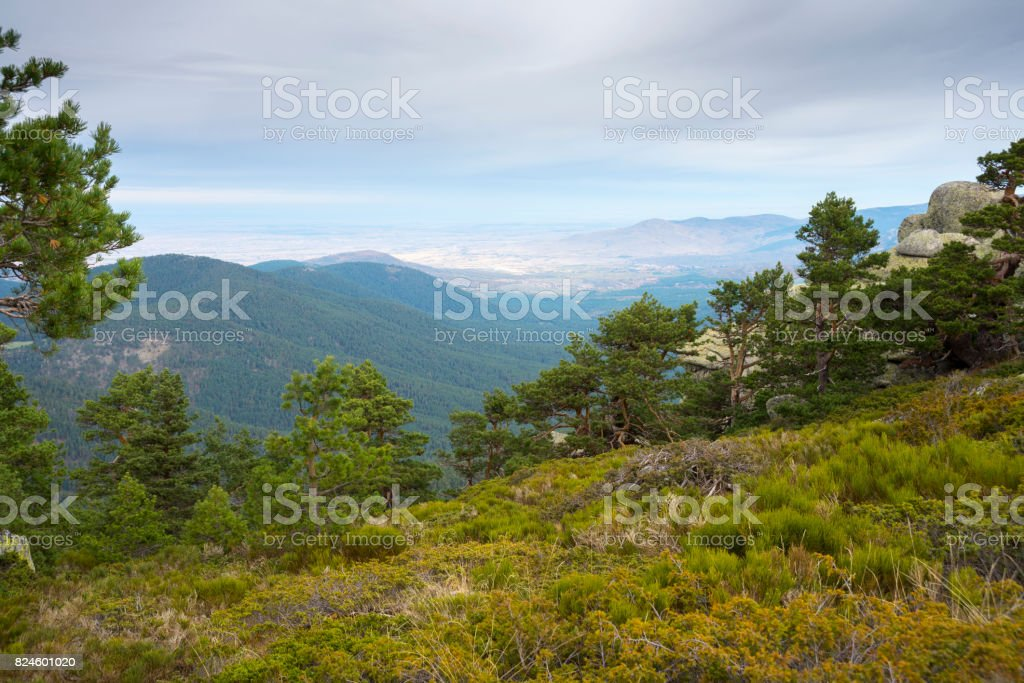 Scots pine forest and padded brushwood stock photo
