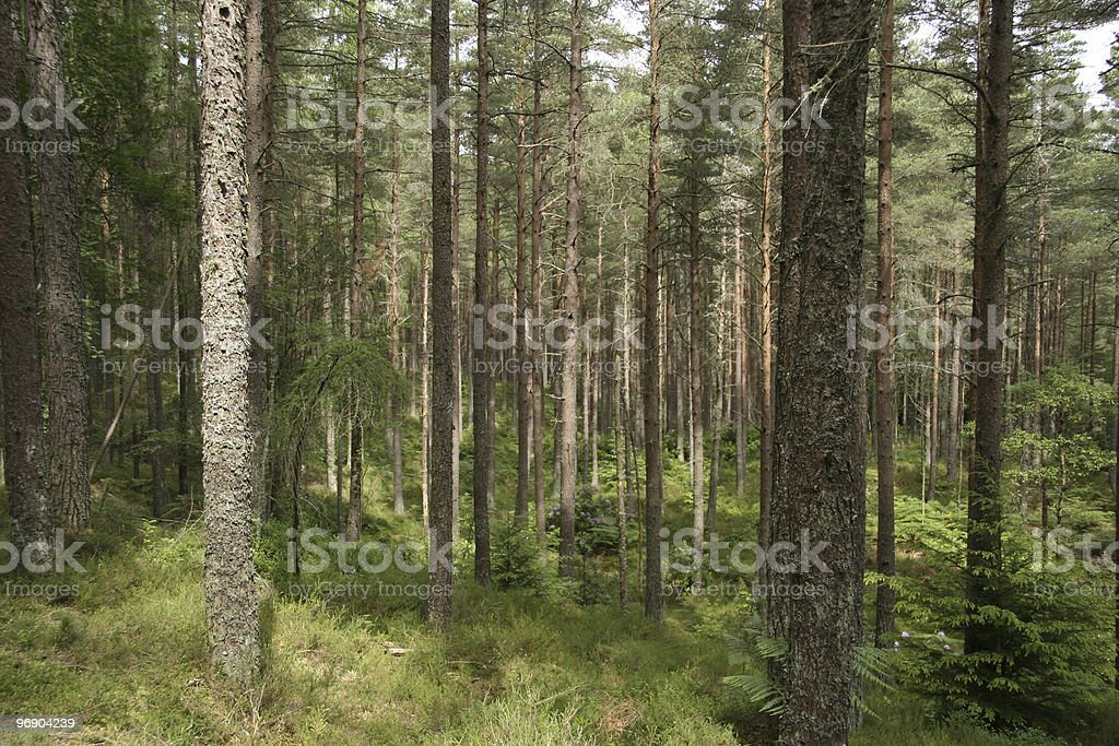 scots pine forest royalty-free stock photo