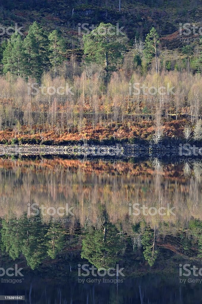 Scots pine reflected stock photo