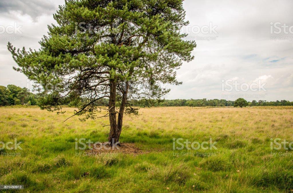 Scots pine tree on a large heather field stock photo