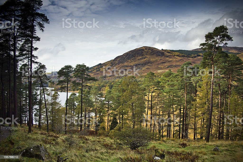 Scots Pines by Loch Trool stock photo