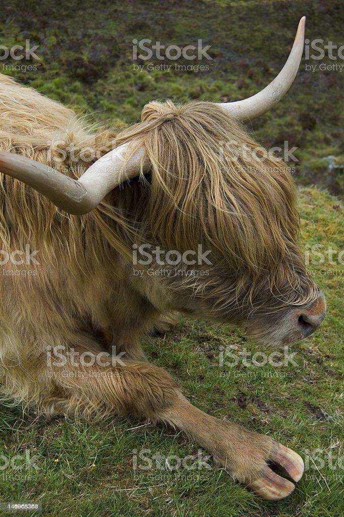 Scottish Bull Lounging royalty-free stock photo