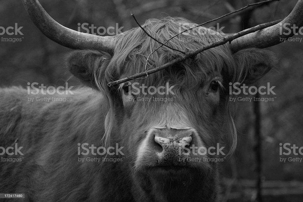 Scottish Bull stock photo