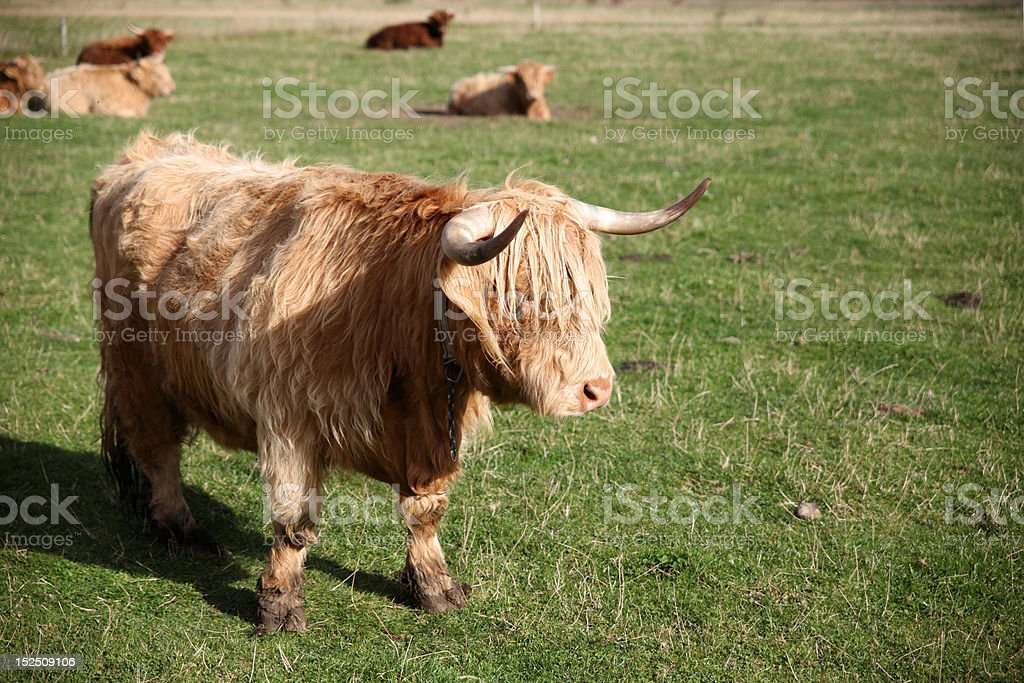 Scottish Cattle in a Green Pasture royalty-free stock photo