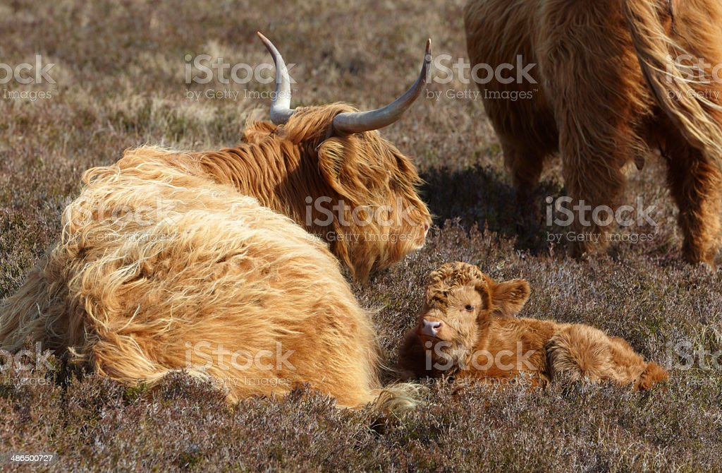 Scottish Cattle : Mother and Cute Calf royalty-free stock photo