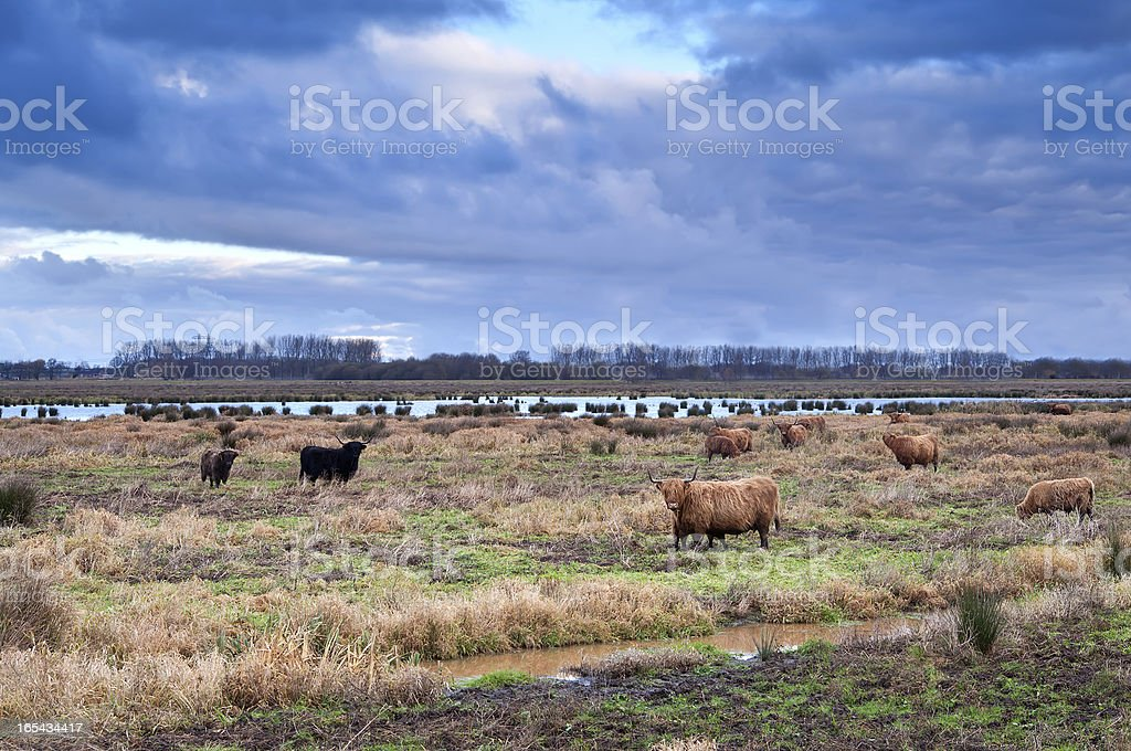 scottish cattle on meadows royalty-free stock photo