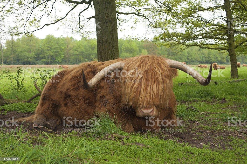 scottish cow royalty-free stock photo
