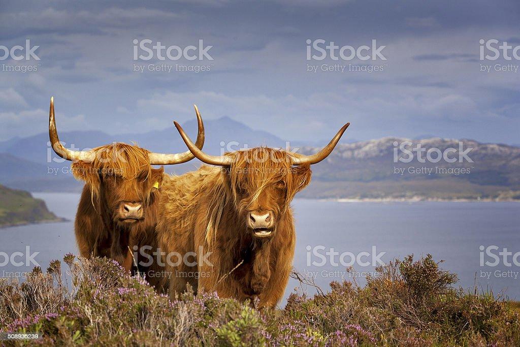 Scottish Cows IV stock photo