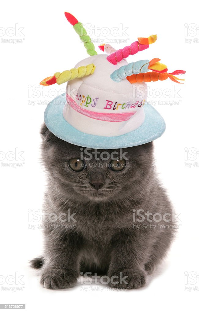 Scottish Fold blue kitten stock photo