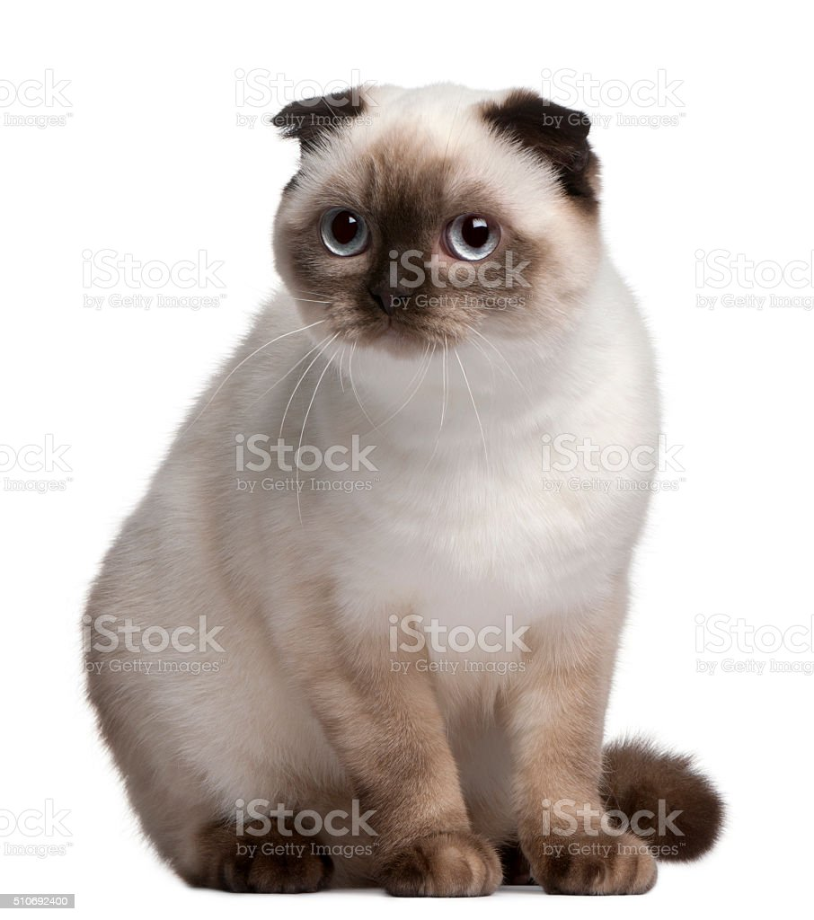Scottish Fold cat, 11 months old, stock photo