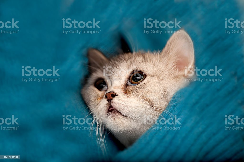 Scottish Fold cat looks at somewhere royalty-free stock photo