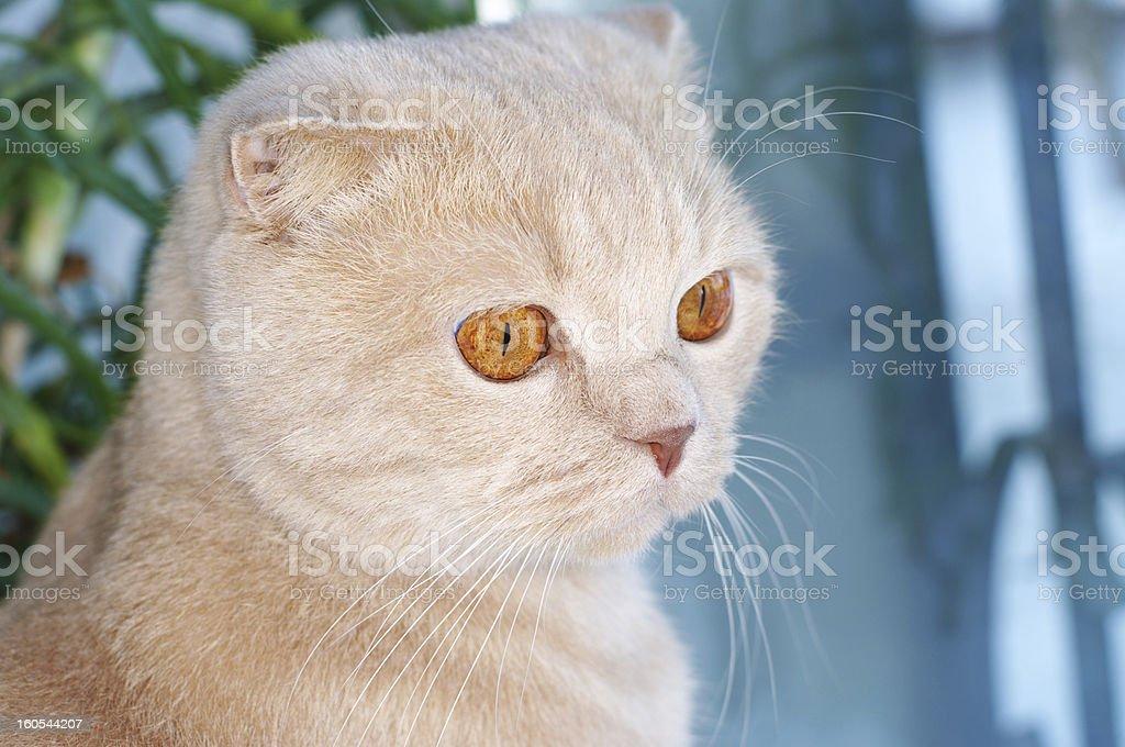 Scottish Fold cat stock photo