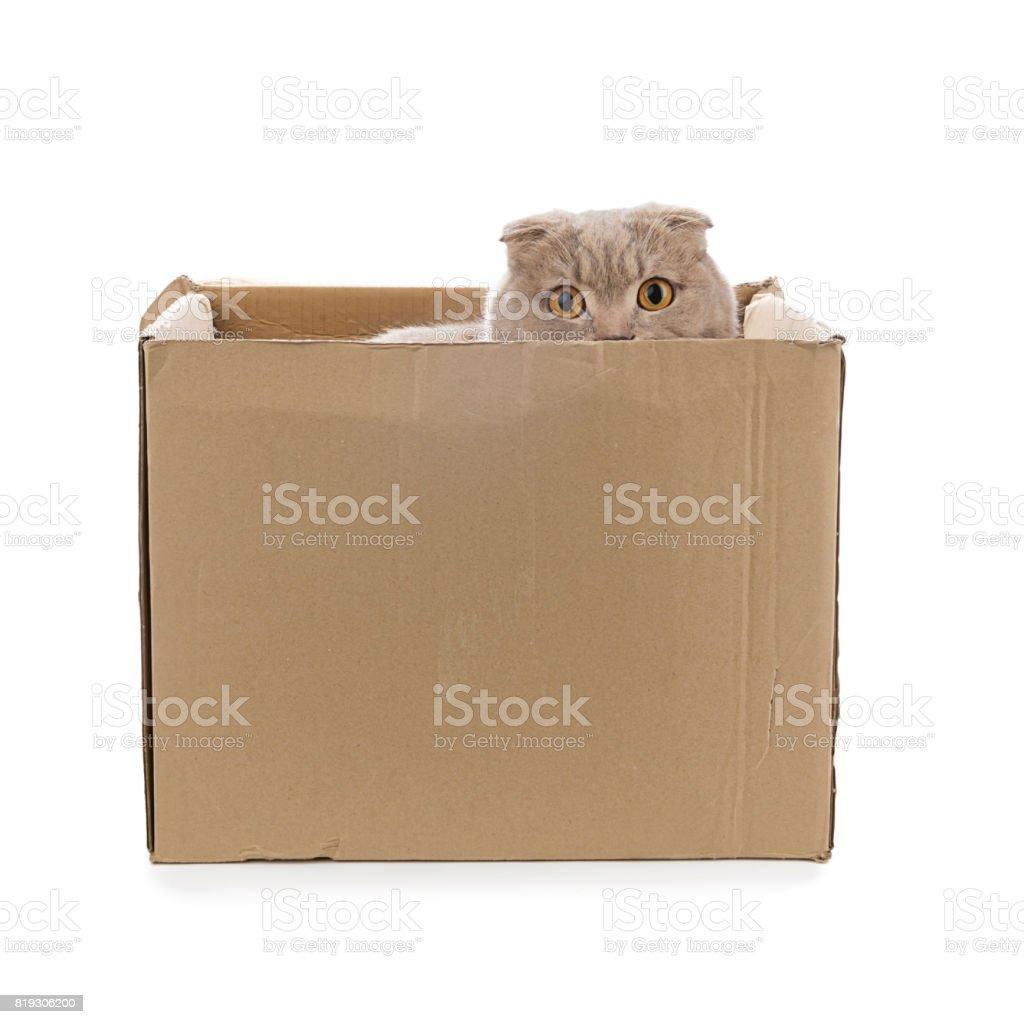 Scottish Fold Hiding behind Cardboard Box stock photo
