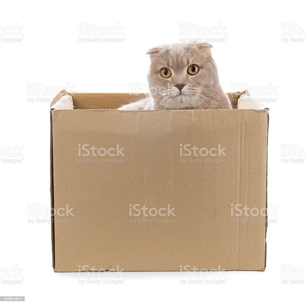 Scottish Fold in Cardboard Box stock photo