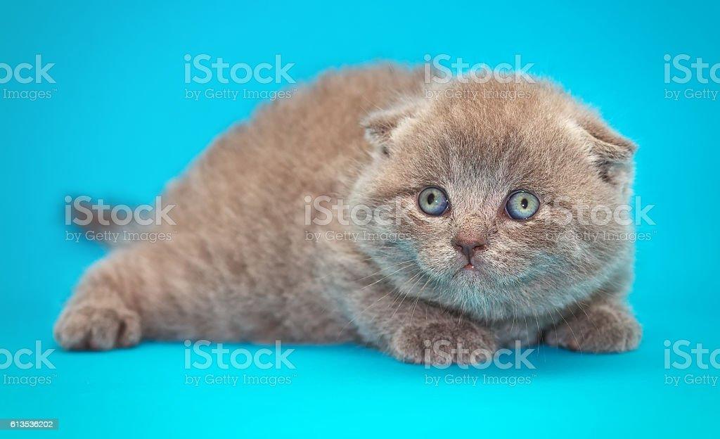 Scottish fold kitten. Kitten with blue eyes stock photo