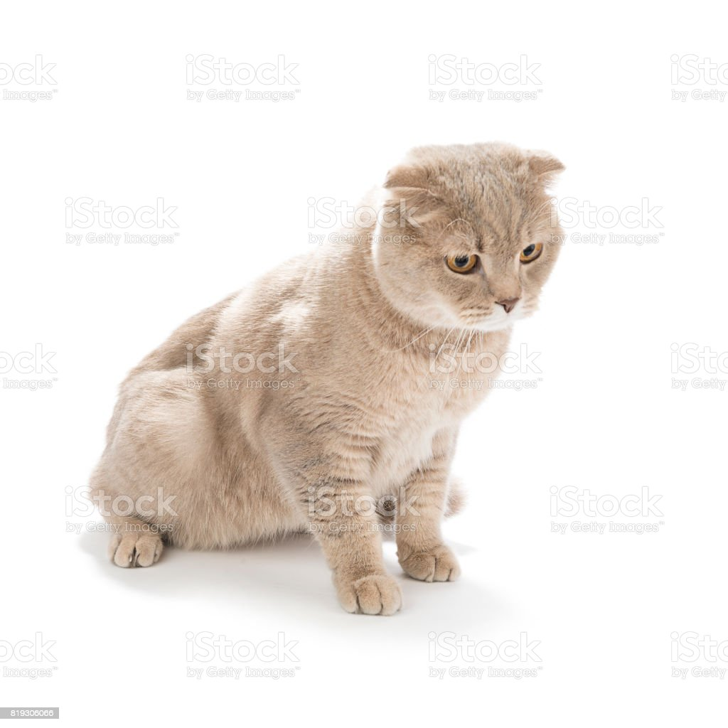 Scottish Fold Looking at Copy Space stock photo