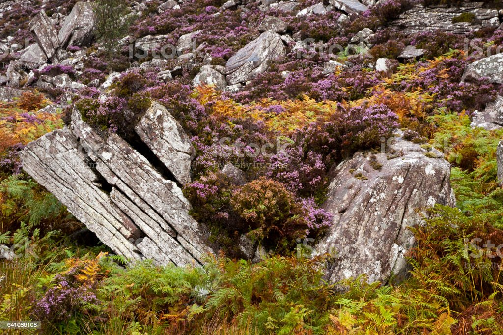 Scottish heather stock photo