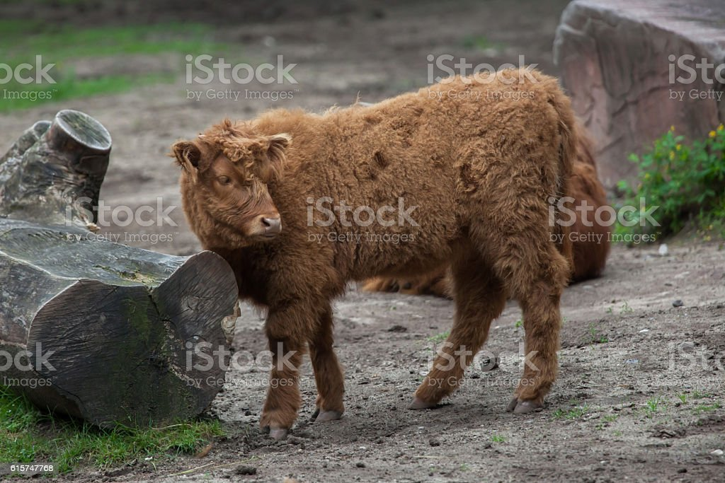 Scottish highland cattle (Bos primigenius taurus). stock photo