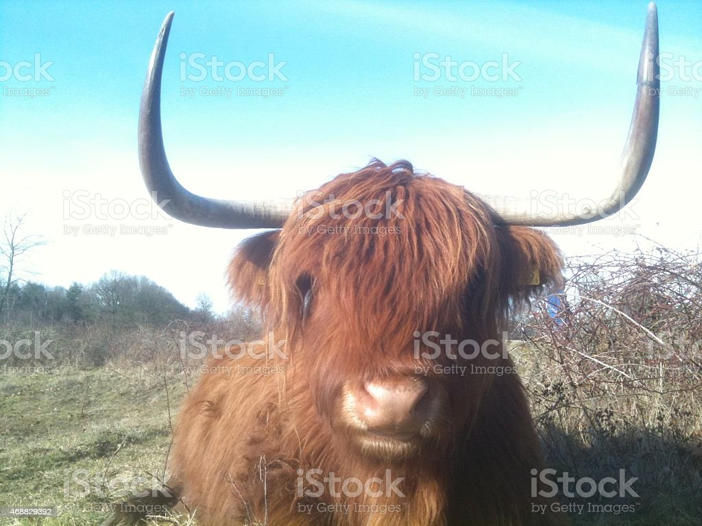 Scottish Highland cow in Enschede stock photo