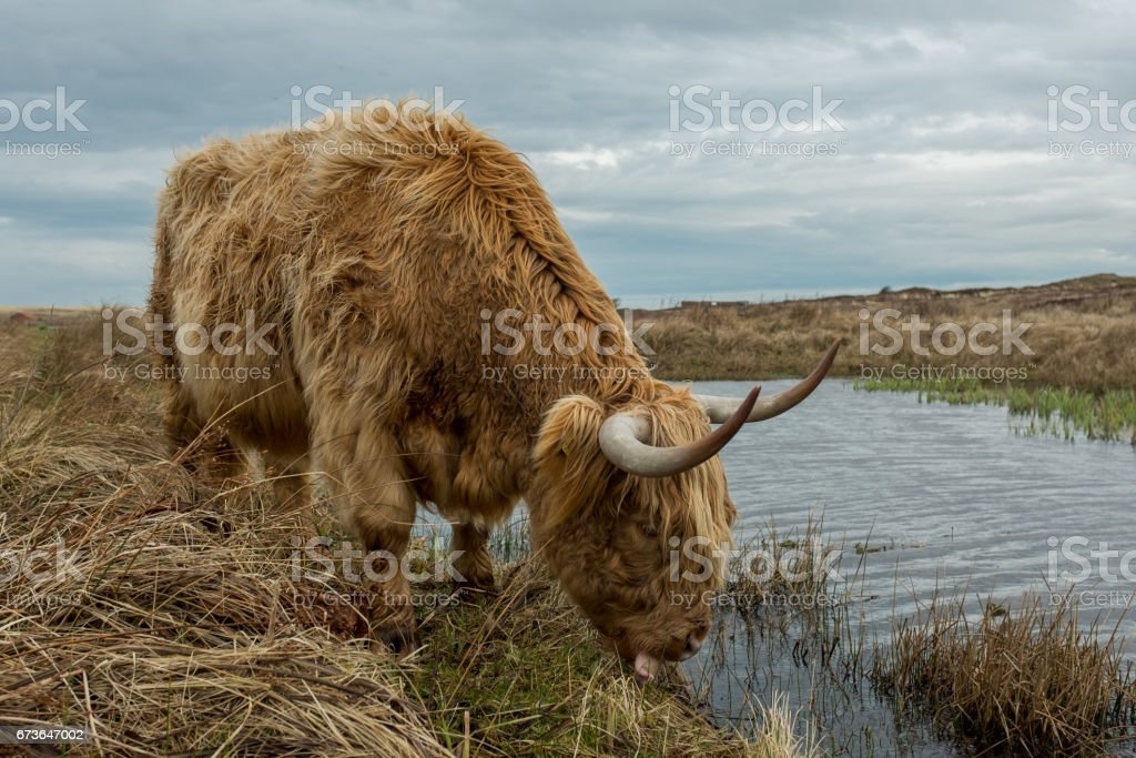 Scottish highland cow in Texel, the Netherlands. stock photo