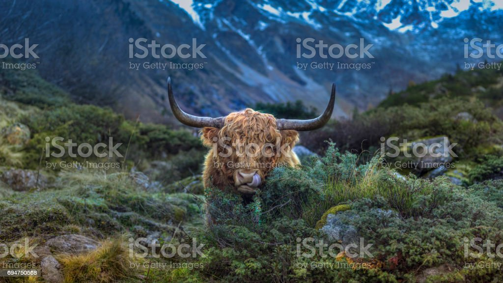 Scottish Highland Cow in the Austrian Alps stock photo