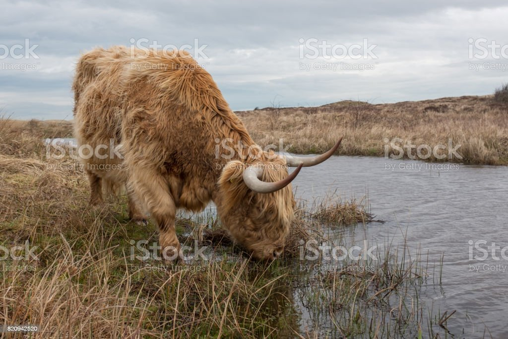 Scottish Highland cow in the Dunes of Texel stock photo