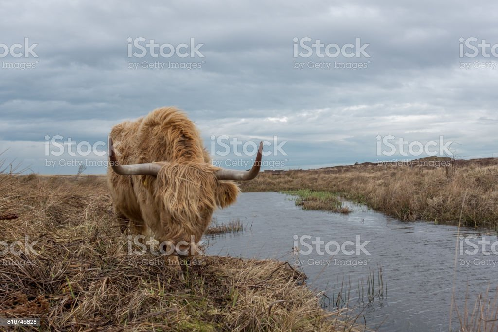 Scottish Highland cow in the Dunes of Texel, The Netherlands. stock photo