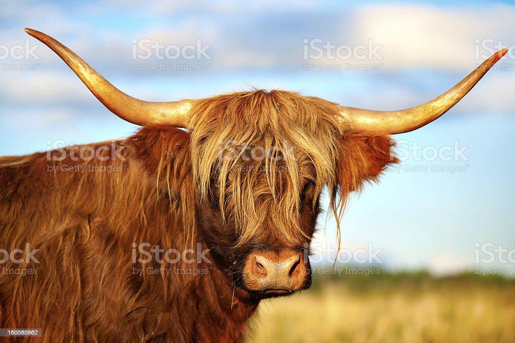 scottish highland cow royalty-free stock photo