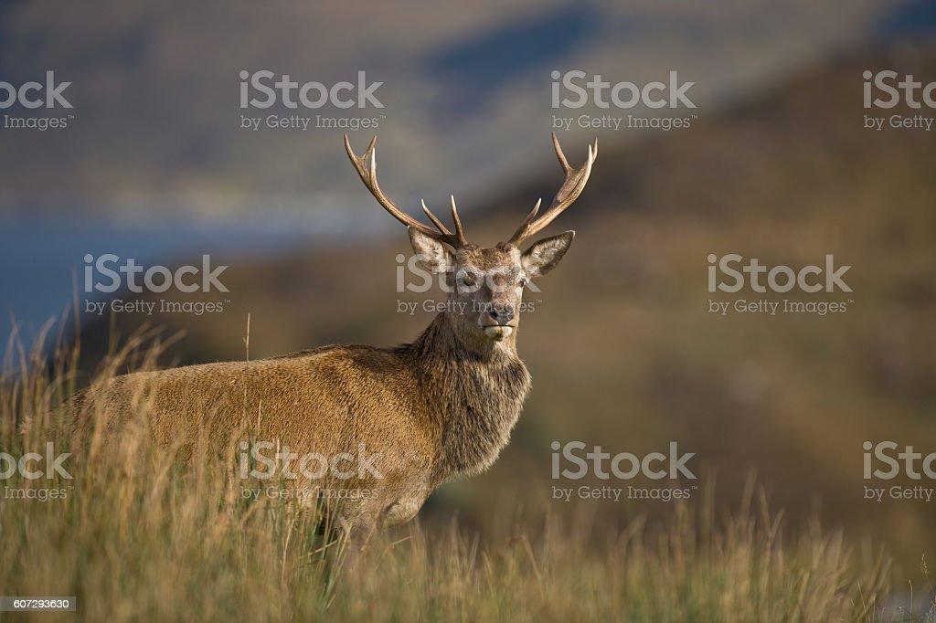 Scottish Highland Stag profile stock photo