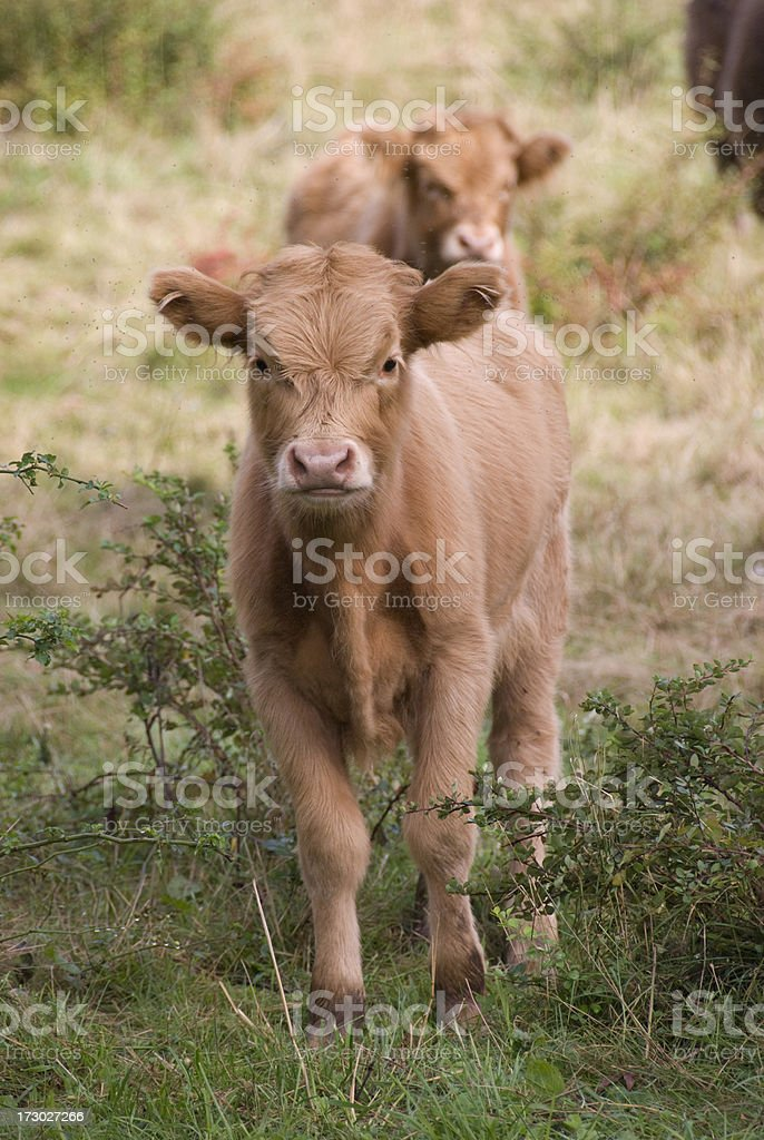 Scottish Highlands Calf stock photo