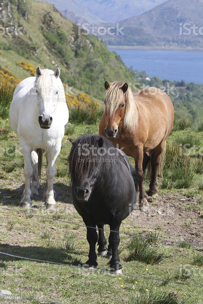 Scottish Horses stock photo