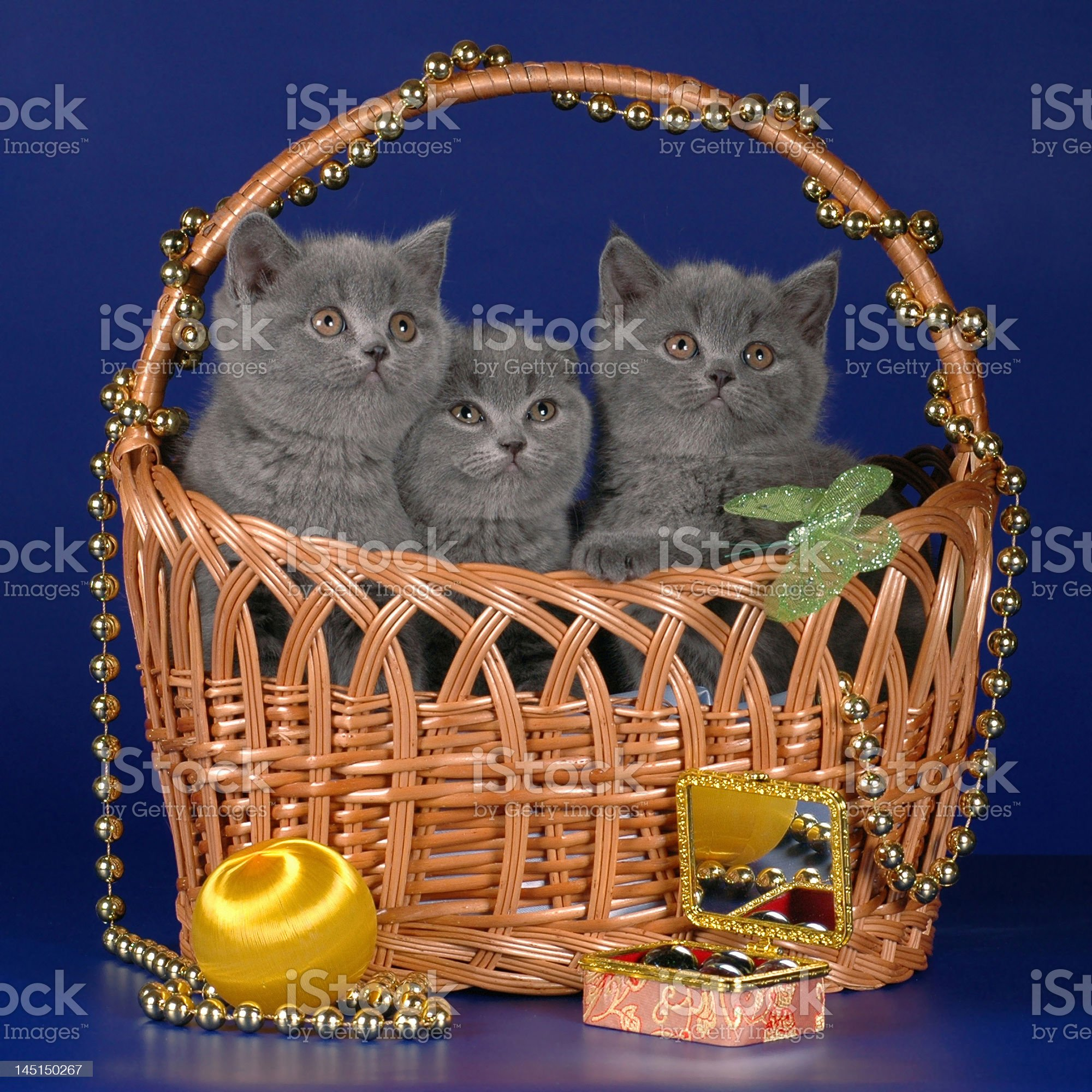 Scottish kittens in the basket royalty-free stock photo