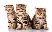 Scottish kittens sitting on white background
