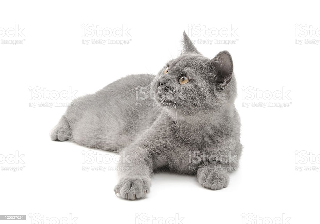 Scottish Kitty royalty-free stock photo