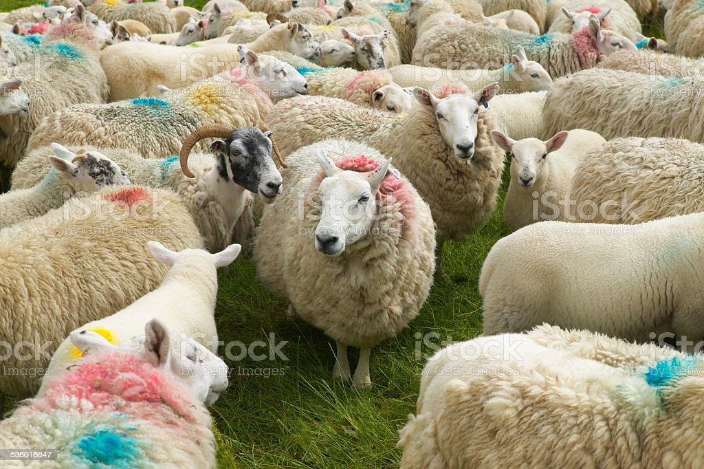 Scottish sheeps marked with colors. Skye isle. Scotland. UK stock photo
