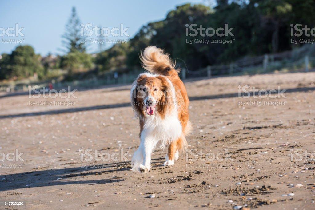 Scottish shepherd at the beach stock photo