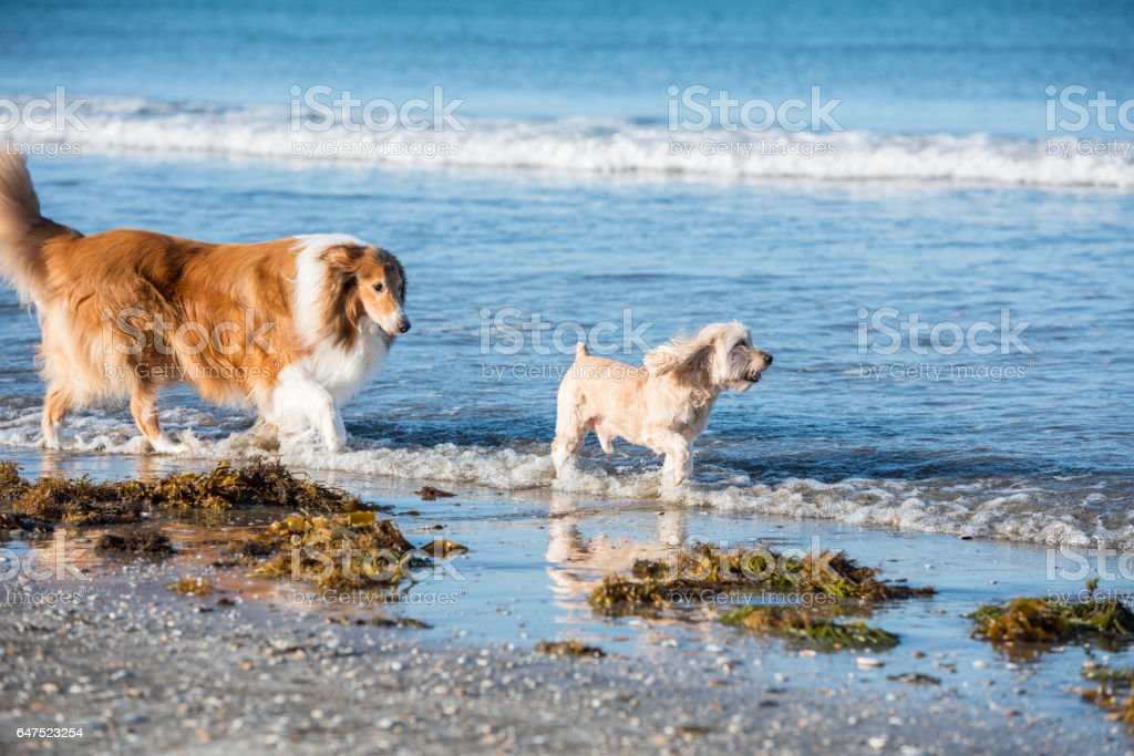 Scottish shepherd at the beach stock photo