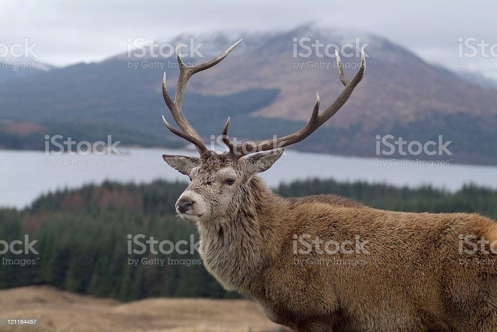 Scottish Stag royalty-free stock photo