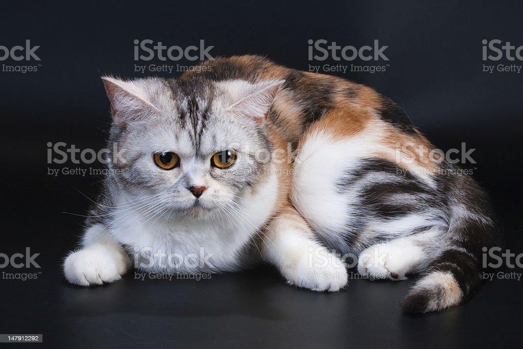 Scottish Straight breed cat tortoiseshell color. stock photo
