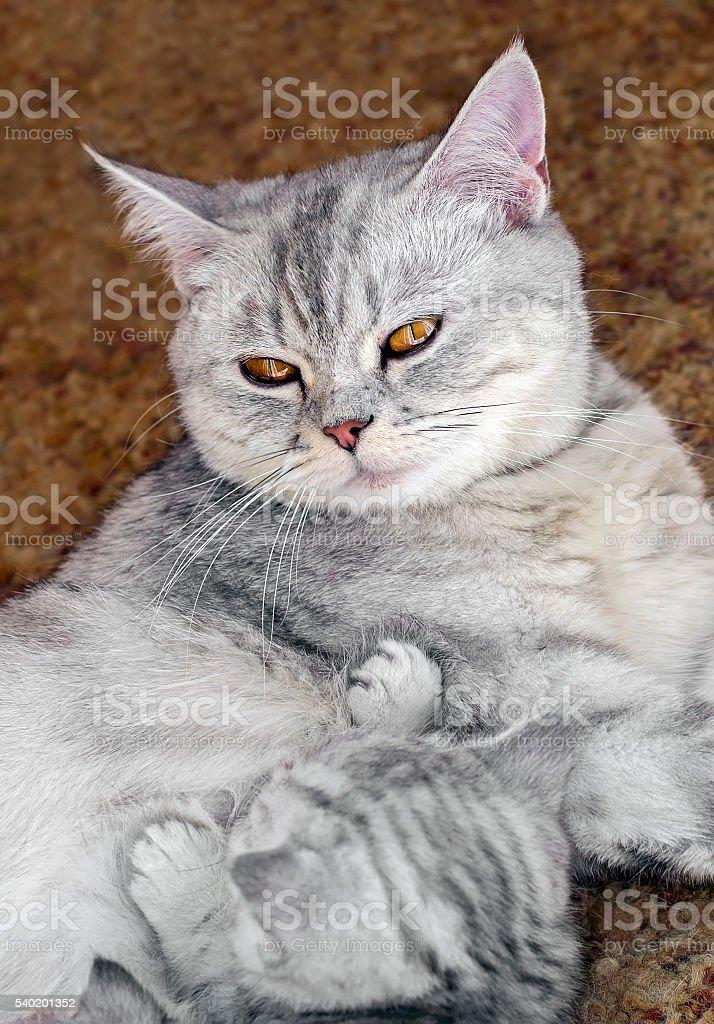 Scottish straight cat feeding kittens stock photo