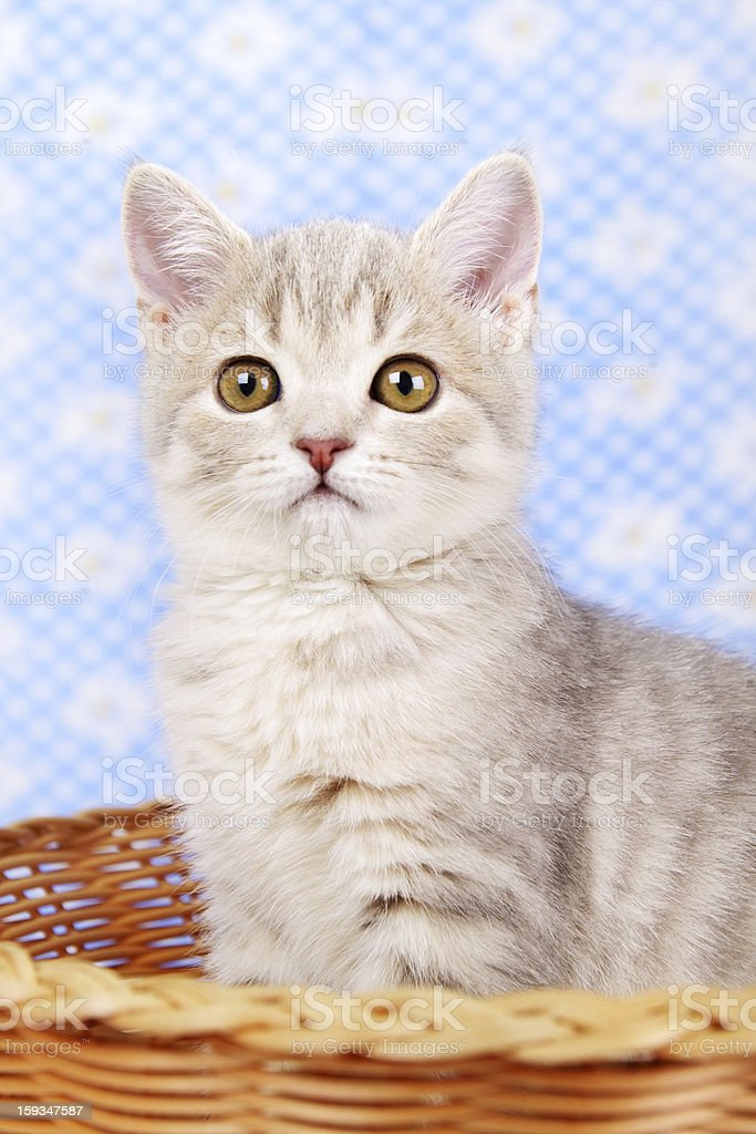 Scottish Straight kitten sitting in basket royalty-free stock photo